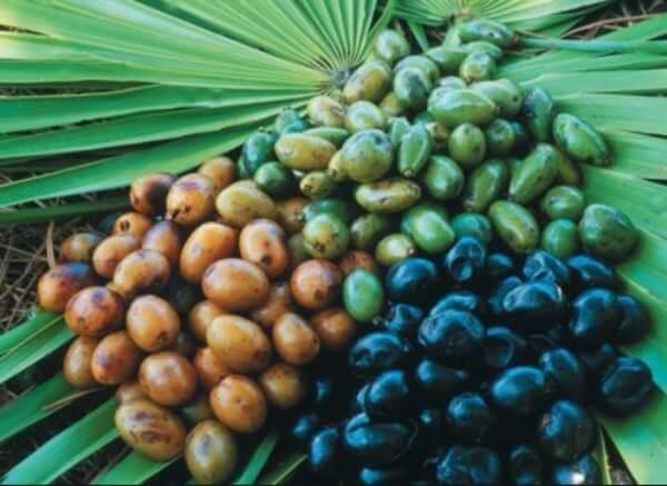 Sao Palmeto (palma enana americana)